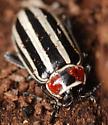 flea beetle - Disonycha uniguttata