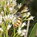 Scoliid on Mule-fat - Colpa pollenifera - male