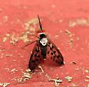Poecilognathus  ? - Poecilognathus punctipennis