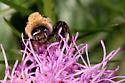 Ptilothrix bombiformis - male