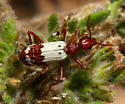 unidentified Coleoptera - Pleuropasta reticulata