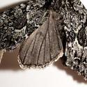 Platypolia contadina - Platypolia - female
