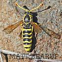 Odd Wasp - Pseudomasaris edwardsii - male