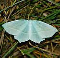 Pale beauty - Campaea perlata - female