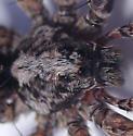 Gladicosa pulchra - male