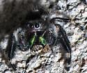 Phidippus Audax and lunch - Phidippus audax - male