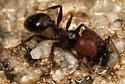 ants on sidewalk - Pheidole obscurithorax - female