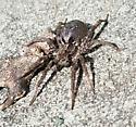 Wolf Spider - female