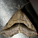 Lost Owlet - Ledaea perditalis - male
