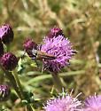 Large flower beetle - Stenocorus