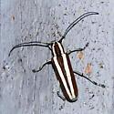 unidentified beetle - Saperda candida