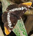 Butterfly at Cosumnes River Preserve - Limenitis lorquini