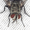 Tachinid Fly - Austrophorocera