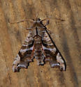 Lettered Sphinx Moth  - Deidamia inscriptum