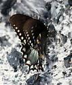 spicebush swallowtail? - Papilio troilus