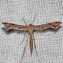 Unknown Micromoth - Stenoptilodes
