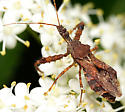 Now This Is An Assasin Bug! - Sinea spinipes