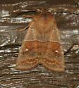 Straight-Toothed Sallow - Hodges#9933 - Eupsilia vinulenta - Eupsilia vinulenta