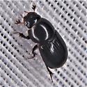 Aphodius rusicola - Aphodius (Oscarinus) rusicola - Aphodius rusicola