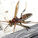 Paper Wasp - Polistes - male