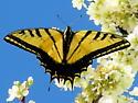 Two-Tailed Swallowtail - Papilio multicaudatus - male
