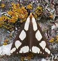 Leconte's Haploa Moth  - Haploa lecontei