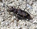 Tiger Beetle - Cicindela oregona