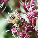 Striped Hairy Belly Bee - Megachile perihirta