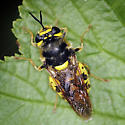 Soldier Fly - Stratiomys maculosa - female
