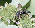 Wasp or bee? - Coelioxys