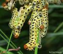 Yellow caterpillars - Neodiprion lecontei
