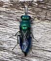 Green Sweatbee 052316bsc