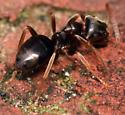 plush brown ant - Lasius americanus - female