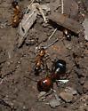 Under Rock - Camponotus sansabeanus