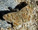 Arizona Powdered-skipper - Systasea zampa