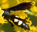 Two-banded wasp - Scolia bicincta - female