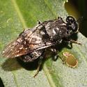 Wasp - Cyphomyia erecta - female