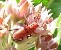 Milkweed Longhorn Beetle (Tetraopes sp.) - Tetraopes basalis