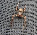 Marbled Orbweaver spider (Araneus marmoreus)    ?? - Araneus - male