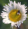 Small fly on a flower