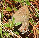Satyrium liparops - Striped Hairstreak - Hodges#4285 - Satyrium liparops