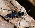 Pompiliidae - Anoplochares apicata