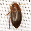 Predaceous Diving Beetle - Copelatus caelatipennis