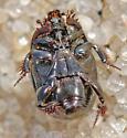 UID beach hister beetle