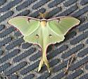 Luna Moth, a large green moth - Actias luna - male
