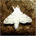 Artace cribrarius - #7683 - Artace cribrarius