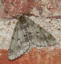 Moth - Phigalia strigataria - male