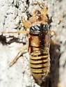 Putnam's Cicada, live nymph dorsal - Platypedia putnami