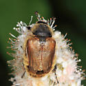 Scarab - Lichnanthe vulpina - female
