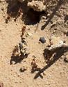 Ants - Pogonomyrmex